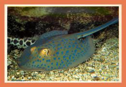 A678 / 075 17 - LA ROCHELLE Aquarium Raie Pastenague ( Poisson ) - Non Classés
