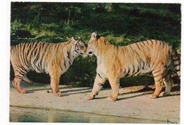 83 - Parc Zoologique De FRÉJUS - Les TIGRESSES (A6) - Tigres