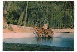 83 - Parc Zoologique De FRÉJUS - Les TIGRESSES Se Désaltérant  (A7) - Tigres