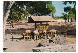 83 - Parc Zoologique De FRÉJUS - Les BUBALES (A8) - Animali