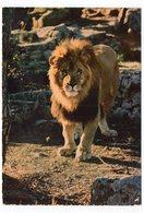 """83 - Parc Zoologique De FRÉJUS - """"TITUS"""" (A10) - Lions"""