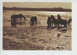 Manade De Chevaux Camarguais Dans Les Marais (José Dupont Explorer) - Saintes Maries De La Mer