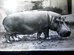 ZOO DI ROMA E IPPOPOTAMO IPPO  HIPPOPOTAMUS   VB1958 HO7544 - Hippopotames