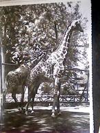 GIARDINO ZOOLOGICO DI ROMA ZOO  GIRAFFA GIRAFFE  N1955 HO7549 - Girafes