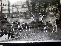 GIARDINO ZOOLOGICO DI ROMA ZOO BEISA  ORYX  N1955 HO7555 - Lions