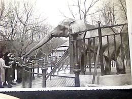 GIARDINO ZOOLOGICO DI ROMA ZOO ELEFANTE  AFRICANO ELEPHANT  TOTO  VB1958 HO7568 - Éléphants