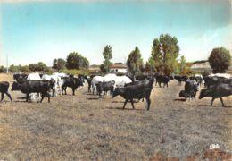 13-SCENE DE CAMARGUE-TAUREAUX EN LIBERTE-N°T566-B/0225 - Autres Communes