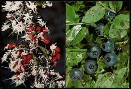 2 X AK  -  Bereifte Hagebutten / Heidelbeeren  -  DJH Ca. 1984  (12831) - Medicinal Plants