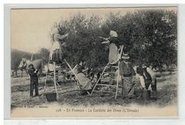 13 EN PROVENCE LA CUEILLETTE DES OLIVES L OLIVADO - France