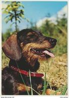 AK  Dackel Teckel - Hunde