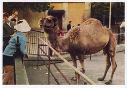 Dromadaire Zoo De Moscou Russie - Animaux & Faune