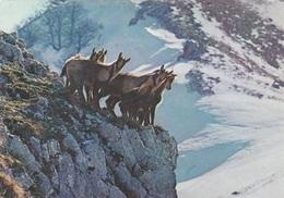 (C471) - ABRUZZO - PARCO NAZIONALE - Camosci - Italy