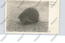 IGEL / Hedgehog / Herisson / Egel / Riccio, 1933 - Tierwelt & Fauna