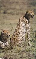 (ST077) - ZAMBIA - Cheetah, Un Ghepardo - Zambia