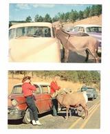 2-BLACK HILLS, South Dakota, USA, Custer State Park, Mountain Sheep & Burros, 1950's Stationwagon, Old Chrome Postcards - Andere