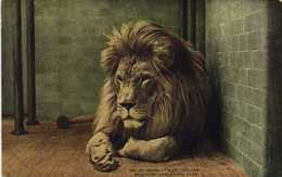 """BARBARY LION """"SULTAN""""  NEW YORK ZOOLOGICAL PARK  Zoo RV - Autres"""