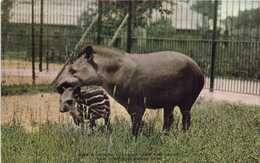 SOUTH AMERICAN  TAPIR AND YOUNG  NEW YORK ZOOLOGICAL PARK ZOO RV - Animaux & Faune