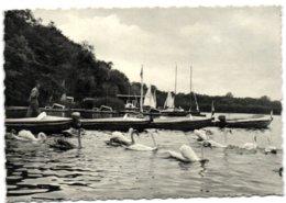 Lac De Virelles -  Cygnes Et Sprots Nautiques - Chimay