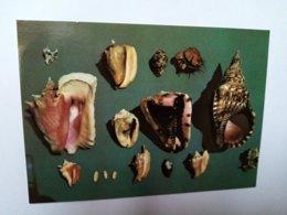 Coquillages Des Antilles. - Cartes Postales