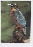 Oiseau, Martin Pêcheur, Eisvogel, Kingfisher, Ijsvogel - Oiseaux