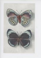 Papillon - Callithéa Leprieuri (Pérou) Deux  Faces (cp Vierge Coll Boubée) - Insects