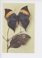 Papillon - Kallima Inachus (Inde) Vu De Dos  Et Profil Replié (coll Boubee Cp Vierge) - Insects
