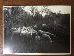 031 L'ETOILE DU BERGER FLAUJAC (46) MOUTONS LA VIE EN NOIR ET BLANC PHOTOGRAPHE NESPOULOS - Other Photographers