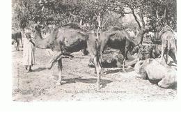 CPA Algérie Groupe De Chameaux - Algérie