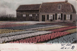 272780Schoten, Bloembollenveld ,,Spaarnhove'' (poststempel 1903) - Haarlem