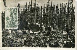 53972 Ceskoslovensko, Maximum 1957 Chmelova Brigada,Hop Pickers,Cueilleurs De Houblon,Raccoglitori Di Luppolo - Agriculture