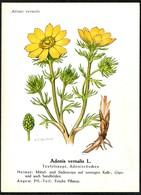 D5657 - H.J. Berthold Künstlerkarte - Teufelsauge - Medicinal Plants