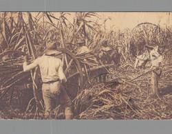 TRINIDAD / REAPING SUGAR CANE - Trinidad