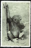 ANTWERPEN / ANVERS - Dierentuin - Jardin Zoologique -  Chimpansee - Monk - Non Circulé - Not Circulated - Nicht Gel. - Antwerpen