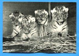 NY774, Zoo, Zoologischer Garten Basel, , 117, P. Steinemann, GF, Non Circulée - Tigres
