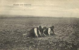 Nederland, BRABANT, Landarbeider Wieden Van Boekweit (1910s) Ansichtkaart - Other