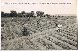 NICE-ST-ANTOINE  La Poulido   -Une Partie Des Plantations Au Mois D'Aout-Pierre RIGAUT Producteur De Fleurs Coupées - Straßenhandel Und Kleingewerbe