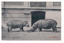 ANTWERPEN - ANVERS - Zoo - Hippopotames. - Antwerpen