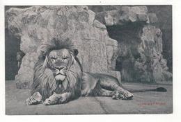 ANTWERPEN - ANVERS - Zoo - Lion D'Afrique - Antwerpen