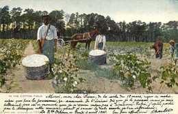IN THE COTTON FIELD  RV Beau Timbre Cachet New Orleans 1905 - Estados Unidos