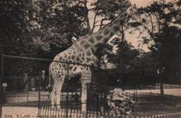 CPA - PARIS - JARDIN DES PLANTES - La GIRAFE - Edition I.P.M - Giraffes