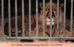 CPA - PARIS - JARDIN DES PLANTES - LION D'AFRIQUE - Edition A.Leconte - Lions