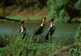 CPM - SENEGAL - PARC National Du NIOKOLO-KOBA - Groupe De MARABOUTS Au Gué De DAMANTAN … - Oiseaux