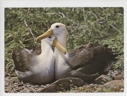 Albatros - Diomedea Irrorata - Birds