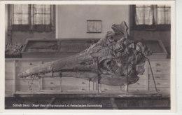 Schloss Banz - Kopf Des Ichthyosaurus I.d. Petrefacten-Sammlung - 1933 - Musées