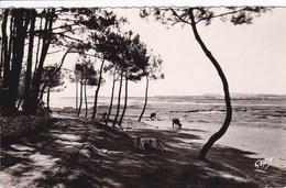 56 LA TRINITE Sur MER Poul Ber Kerdio Vras Plage ,enfants ,vaches Sur La Plage - La Trinite Sur Mer