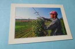 UNE SCENE TYPIQUEMENT FLAMANDE ...LA CUEILLETTE DU HOUBLON - Cultivation