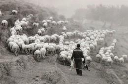 CRETE SENESI PECORE E Pastore SHEEP - Siena