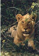 ANIMAUX 225 : Lion Lowenpark Graf Westerholt : édit. Cramer Kunnstanstalt K G Dortmund - Lions
