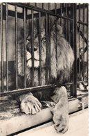 ANIMAUX 236 : Lyon ( Rhone 69 ) ; Le Parc Le Lion édit. Trolliet Et Fils N° 162 Bis - Lions