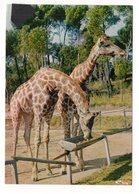 83 - FRÉJUS - Parc Zoologique De Fréjus - Les Girafes Réticulées (D4) - Giraffe